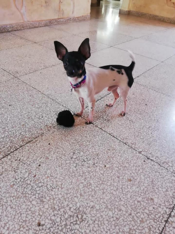 Se Vende Mascotas Accesorios Busco Novia Para Mi Chihuahua En La Habana Cuba Anuncios Clasificados De Compra Venta En Cuba Porlalivre